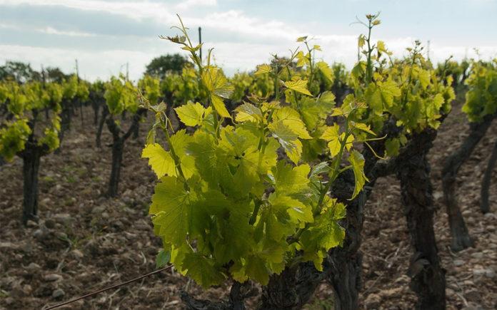 viñedo La Rioja